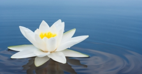 The White Lotus flower holds special significance for Life Coach Monica Ortiz